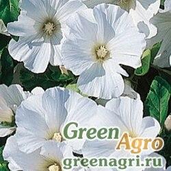 "Лаватера трёхмесячная (Lavatera trimestris) ""White Regis"" (white) 50 гр."