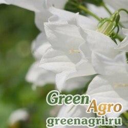 "Колокольчик ложечницелистный (Campanula cochlearifolia) ""Alpine Breeze"" (white-всх 61%) multi-pelleted 2000 шт."