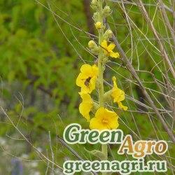 Коровяк зопниковидный (Verbascum phlomoides) 1 гр.