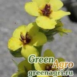 Коровяк круглолистный (Verbascum rotundifolium) 8 гр.