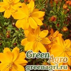 """Космея сернистая (Cosmos sulphureus) """"Sunny"""" (golden) 20 гр."""