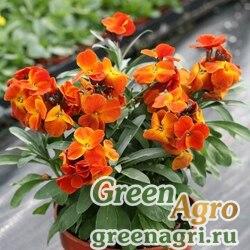 """Лакфиоль Чери (Cheiranthus cheiri) """"Treasure F1"""" (orange-bronze) Произв. 1000 шт."""