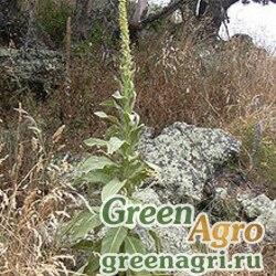 Коровяк обыкновенный (Verbascum thapsus) 8 гр.