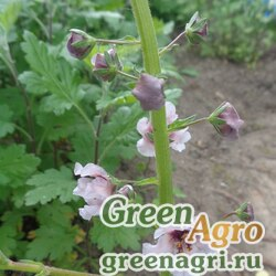 Коровяк фиолетовый (Verbascum phoeniceum) (mix) 25 гр.
