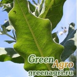 Коровяк припудренный (Verbascum pulverulentum) 4 гр.