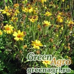 "Кореопсис ланцетный (Coreopsis lanceolata) ""Sunburst"" (golden yellow) 50 гр."