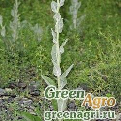 Коровяк сушеницеобразный (Verbascum gnaphalodes) 5 гр.