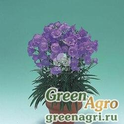 """Колокольчик персикоистный (Campanula persicifolia) """"Takion F1"""" (blue) pelleted 1000 шт."""