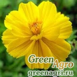 """Космея сернистая (Cosmos sulphureus) """"Sunny"""" (yellow) 20 гр."""