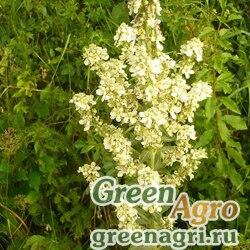 Коровяк метельчатый ф.белая  (Verbascum lychnitis f.album) 1 гр.