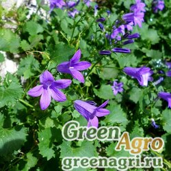 Колокольчик гарганский (Campanula garganica) 0.1 гр.