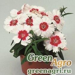 Семена Гвоздика Диана Ред сентеред вайт 100шт