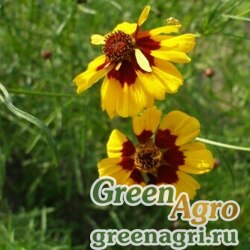 """Кореопсис красильный (Coreopsis tinctoria) """"Amulet"""" (brown red) 30 гр."""