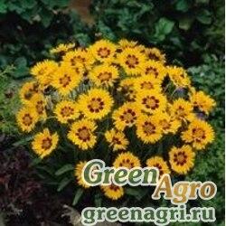 """Кореопсис крупноцветковый (Coreopsis grandiflora) """"Sunfire"""" (yellow) primed 1000 шт."""