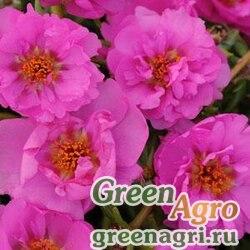 "Портулак крупноцветковый (Portulaca grandiflora) ""Happy Trails"" (rosita) raw 1000 шт."
