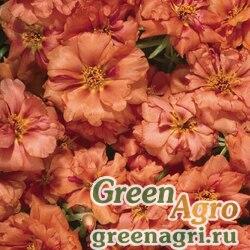 "Портулак крупноцветковый (Portulaca grandiflora) ""Stopwatch F1"" (orange) raw 1000 шт."