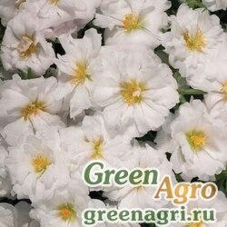 """Портулак крупноцветковый (Portulaca grandiflora) """"Stopwatch F1"""" (white) raw 1000 шт."""
