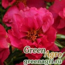 """Портулак крупноцветковый (Portulaca grandiflora) """"Happy Hour"""" (fuchsia) multi-pelleted 1000 шт."""