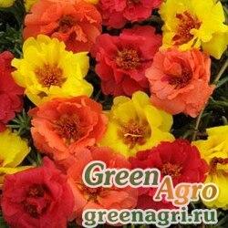 """Портулак крупноцветковый (Portulaca grandiflora) """"Happy Hour"""" (mix tropical) raw 1000 шт."""