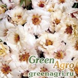 "Портулак крупноцветковый (Portulaca grandiflora) ""Sundial F1"" (cream) raw 1000 шт."