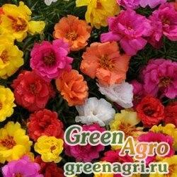 """Портулак крупноцветковый (Portulaca grandiflora) """"Happy Hour"""" (mix) raw 1000 шт."""