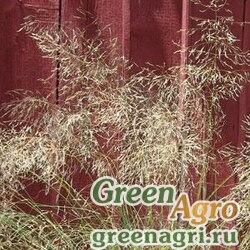 Полевичка Эллиота Eragrostis elliotii WIND DANCER GREEN Multi-pelleted 1000
