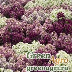 """Алиссум морской компактный (Lobularia maritima) """"Wonderland"""" (mulberry mix) 1000 шт."""