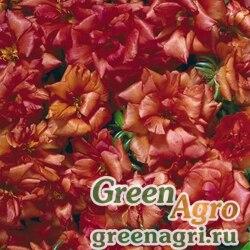 "Портулак крупноцветковый (Portulaca grandiflora) ""Stopwatch F1"" (scarlet) raw 1000 шт."