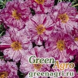 "Портулак крупноцветковый (Portulaca grandiflora) ""Sundial F1"" (peppermint) raw 1000 шт."