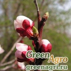 Абрикос манчжурский (Armeniaca mandshurica) 50 гр.