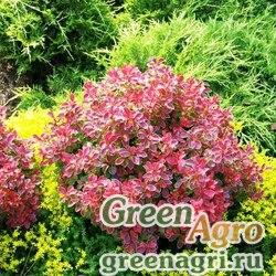 Барбарис Тунберга (Berberis thunbergii) 40 гр.