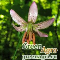 Лилия кудреватая (Lilium martagon) 5 гр.