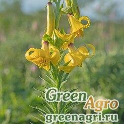 Лилия однобратственная (Lilium monadelphum) 3.5 гр.