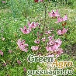 Лилия кавказская (Lilium caucasicum) 3 гр.