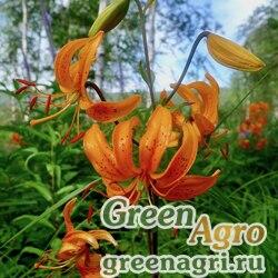 Лилия двурядная (Lilium distichum) 3.5 гр.