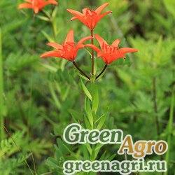 Лилия (Lilium sp.) 1 гр.