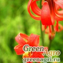 Лилия мозолистая (Lilium callosum) 3.5 гр.