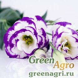"Лизиантус (Эустома) крупноцветковый (Lisianthus grandiflorum) ""Arena III F1"" (blue picotee) pelleted 1000 шт."