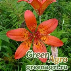 Лилия даурская (Lilium dahurica) 3.5 гр.