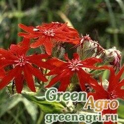 Лихнис сверкающий (Lychnis fulgens) 1.5 гр.