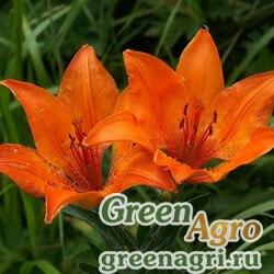 Лилия бульбоносная (Lilium bulbiferum) 0,1 гр.