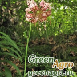 Лилия саранка (Lilium pilosiusculum) 5 гр.