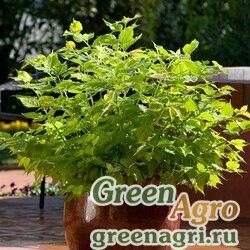 "Лейцестерия тайваньская (Leycesteria formosa) ""Jealousy"" (green) multi-pelleted 100 шт."