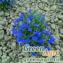 """Лобелия ежевидная (Lobelia erinus) """"Cobalt"""" (blue) raw 2 гр."""