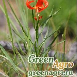 Лилия карликовая (Lilium pumilum) 4 гр.