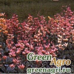 """Лилия Пэйсли (Lilium martagon) """"Paisley Hybrids"""" 5 гр."""