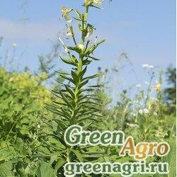 Лилия Кессельринга (Lilium kesselringianum) 3 гр.