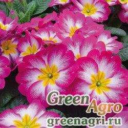 """Примула бесстебельная (Primula acaulis) """"Pioneer F1"""" (burgundy flame) raw 1000 шт."""