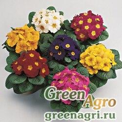 """Примула бесстебельная (Primula acaulis) """"Primera F1"""" (mix) primed 1000 шт."""