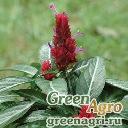 Порфирокома Поля Porphyrocoma pholiana MARACAS RED Raw 1000